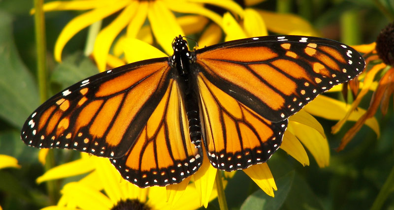 research snapshot monarch responses to climate the ries lab of