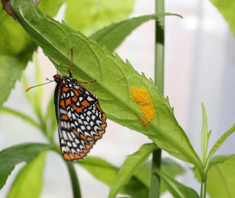 The newly emerged Baltimore Checkerspots (Euphydryas phaeton) started laying eggs today!